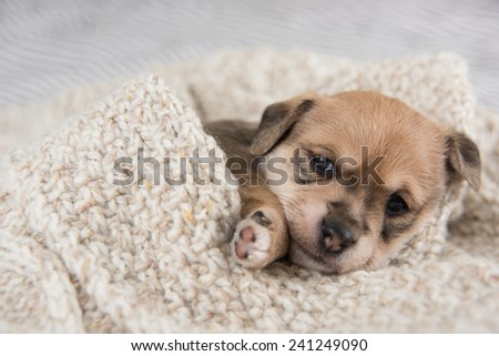 Tiny Black Puppy Sitting in Bed on  Wool Sweater - stock photo