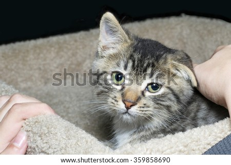 tiny brown and tan and white medium haired tabby kitten being pet by young hands, kitty looks very sad yet content looking straight at person petting him her - stock photo