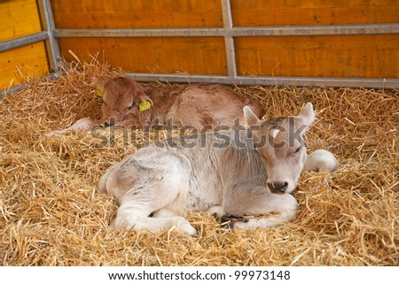Tiny calf in the barn