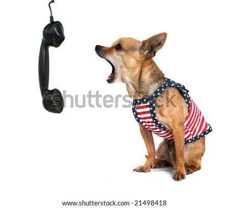 tiny chihuahua barking in a cute dress - stock photo