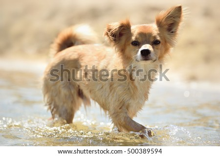 tiny chihuahua dog mix with terrier Designer dog