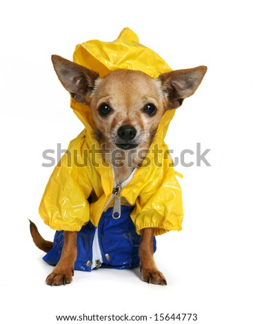 tiny chihuahua dressed up in a raincoat - stock photo