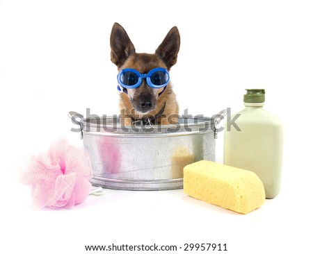 tiny chihuahua in a small metal bathtub - stock photo