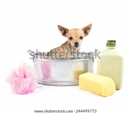 tiny chihuahua in a small metal bathtub isolated on a white background