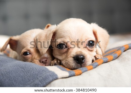 Tiny Chihuahua Puppies Playing on Striped Blanket