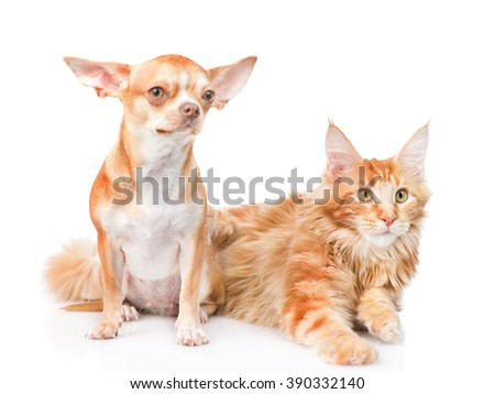 Tiny chihuahua puppy and maine coon cat together. isolated on white background