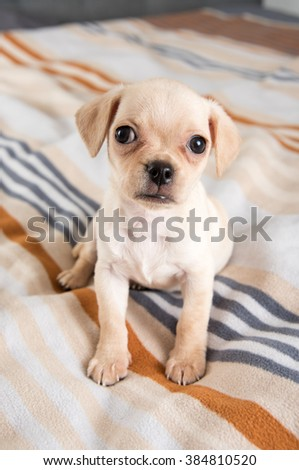 Tiny Chihuahua Puppy Playing on Striped Blanket - stock photo
