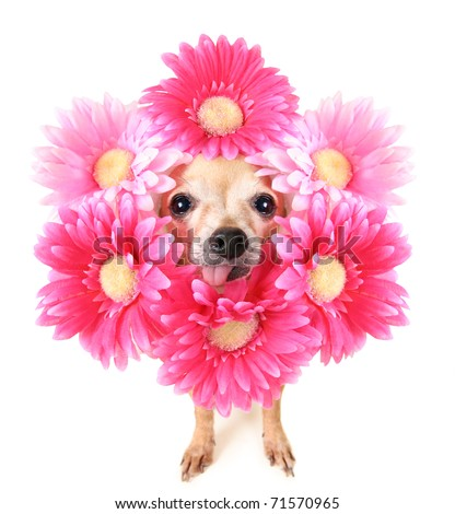tiny chihuahua with flowers around his head