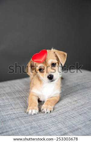 Tiny Cute Puppy on Gray Sofa with Red Heart Toy - stock photo
