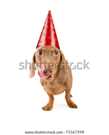 tiny dachshund wearing a birthday hat