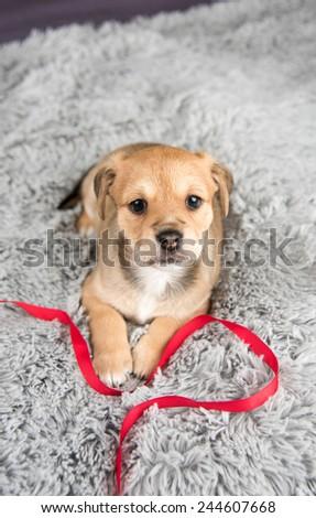 Tiny Fawn Mixed Breed Puppy on Fluffy Blanket - stock photo