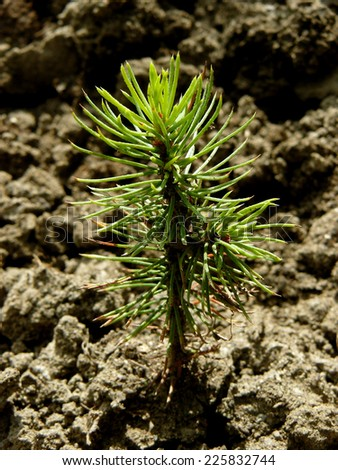 tiny fir tree grown from seed - stock photo