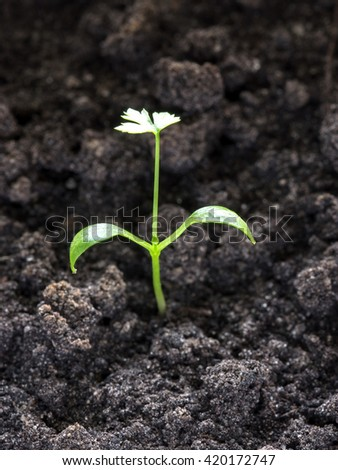 Tiny green parsley sprout growing through the ground. Young fresh plant in fertile soil.
