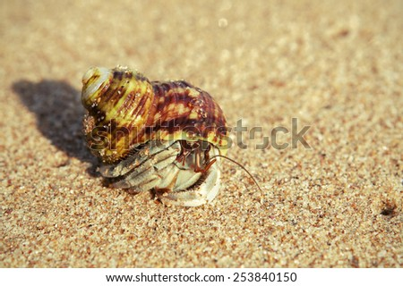 Tiny hermit crab in its shell crawling on the hot sand. Macro Photo