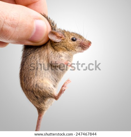 Tiny house mouse (Mus musculus) being held by human fingers - stock photo