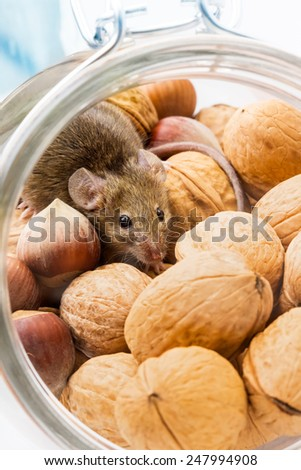 Tiny house mouse (Mus musculus) hiding in walnut and hazelnut jar - stock photo