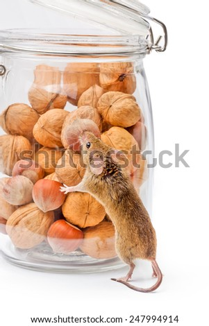Tiny house mouse (Mus musculus) near walnut and hazelnut seeds jar - stock photo