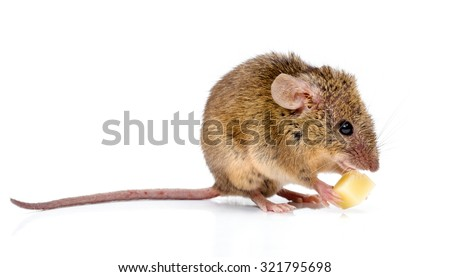 Tiny house mouse (Mus musculus) with long tail, eating cheese - stock photo