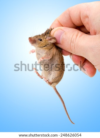 Tiny house mouse on blue (Mus musculus) being held by human fingers - stock photo
