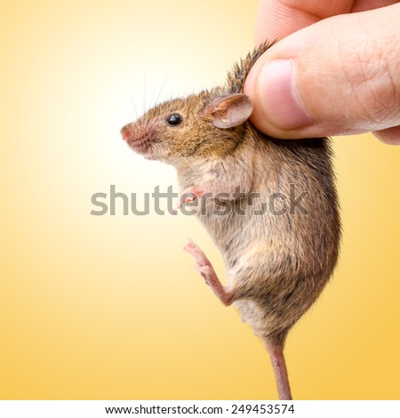 Tiny house mouse on yellow (Mus musculus) being held by human fingers - stock photo