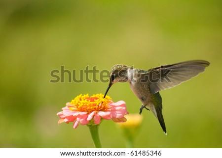 Tiny Hummingbird feeding on Zinnia flower - stock photo