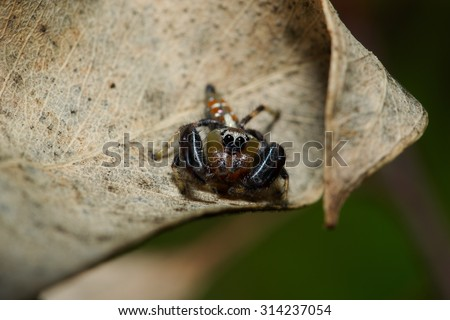 Tiny Jumping spider on a dead leaves, soft focus - stock photo