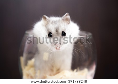 tiny Jungar hamster gets out of glass - stock photo