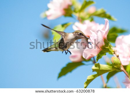 Tiny juvenile Hummingbird feeding on a light pink Althea flower - stock photo