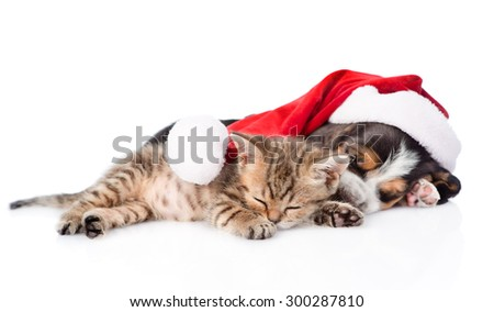 Tiny kitten and basset hound puppy in red santa hat sleeping together. isolated on white background - stock photo