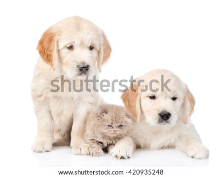 Tiny kitten lies between two golden retriever puppies. isolated on white background - stock photo