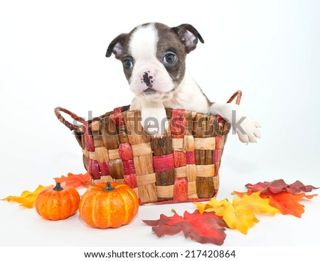 Tiny little Boston terrier puppy sitting in a basket with fall decor around him, on a white background. - stock photo