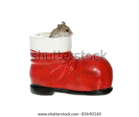 Tiny little brown hamster or mouse coming out of a Christmas santa boot, isolated on white.