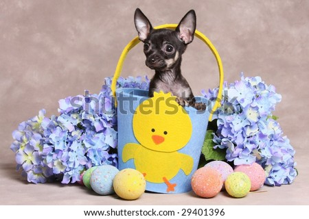 Tiny Little Chihuahua Puppy in Easter Basket - stock photo