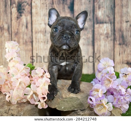 Tiny little French Bulldog puppy standing on rocks with flowers around her.