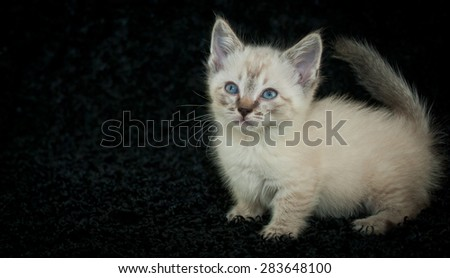 Tiny little Munchkin,  Siamese kitten with blue eyes standing on a black background with copy space. - stock photo