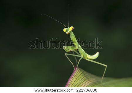 Tiny Mantis standing on leaf - stock photo