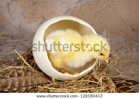 Tiny newborn easter chick coming out of a big ostrich egg