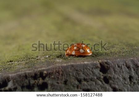 tiny orange ladybird - stock photo
