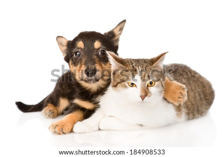 tiny puppy dog embracing a cat. isolated on white background
