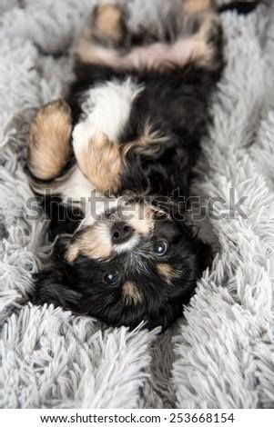 Tiny Puppy on Fluffy Blanket - stock photo