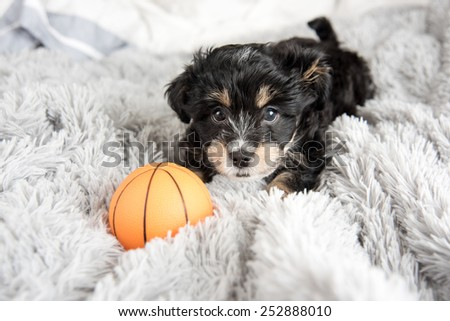 Tiny Puppy on Fluffy Blanket with Orange Basketball Toy - stock photo