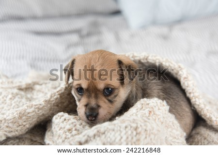 Tiny Puppy Sitting in Bed Wrapped in  Wool Sweater - stock photo