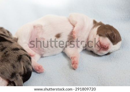 Tiny Puppy Sleeping on Bed