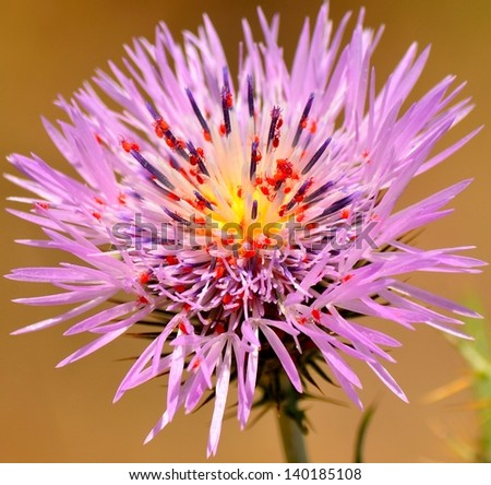Tiny red spiders sharing the nectar of a wild thistle flower, little insects inside a splendid  wildflower on natural diffuse background - stock photo