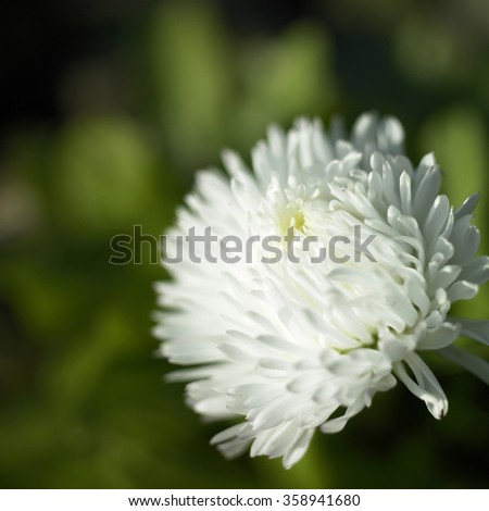 Tiny soft white petals of an English daisy flower in full bloom - stock photo