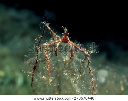 Tiny spider crab perched on algae at night - stock photo