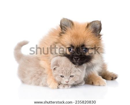 tiny spitz puppy hugging scottish kitten . isolated on white background - stock photo