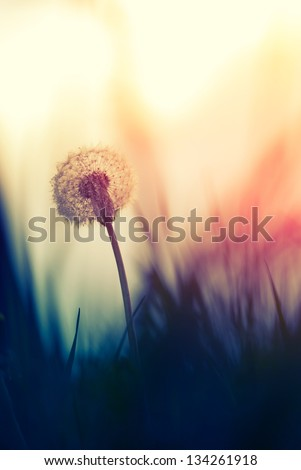 Tiny Spring dandelion bathing in the last rays of the setting sun - stock photo