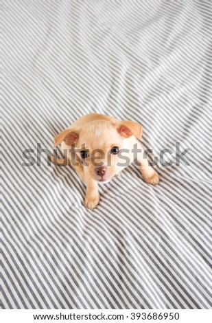Tiny Tan Colored Chihuahua Puppy on Human Bed