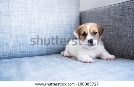 Sad puppy face stock images royalty free images vectors tiny white and fawn cute puppy sitting on sofa at home voltagebd Gallery